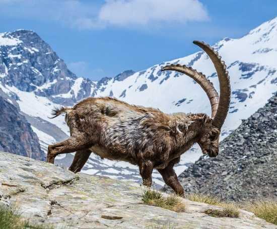 горный козёл в горах