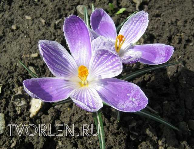 весенние садовые цветы