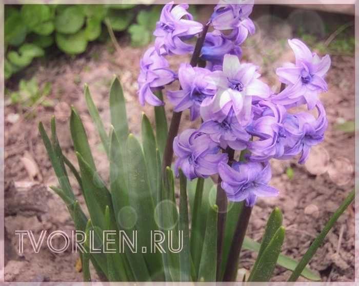 Мои весенние садовые цветы – рассказ Ольги Смирновой (конкурсная работа №1)