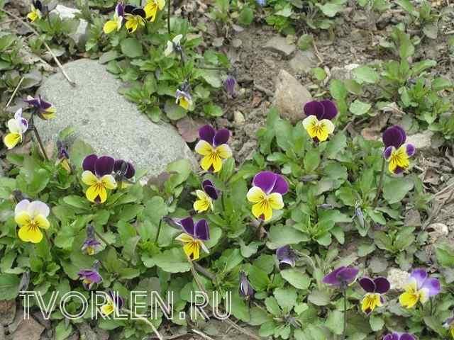Посадка и уход за садовыми цветами