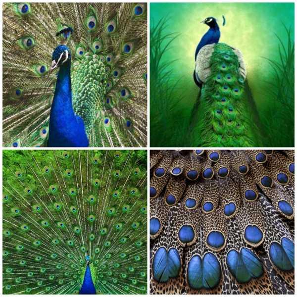 collage павлиний хвост 2